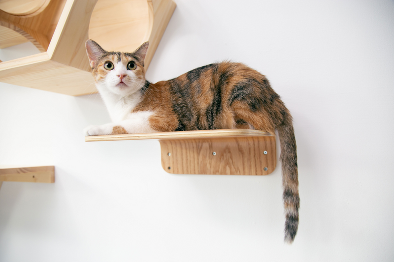 A brown cat perch on a wall-mounted cat shelf safely and relaxed, which is designed by MYZOO