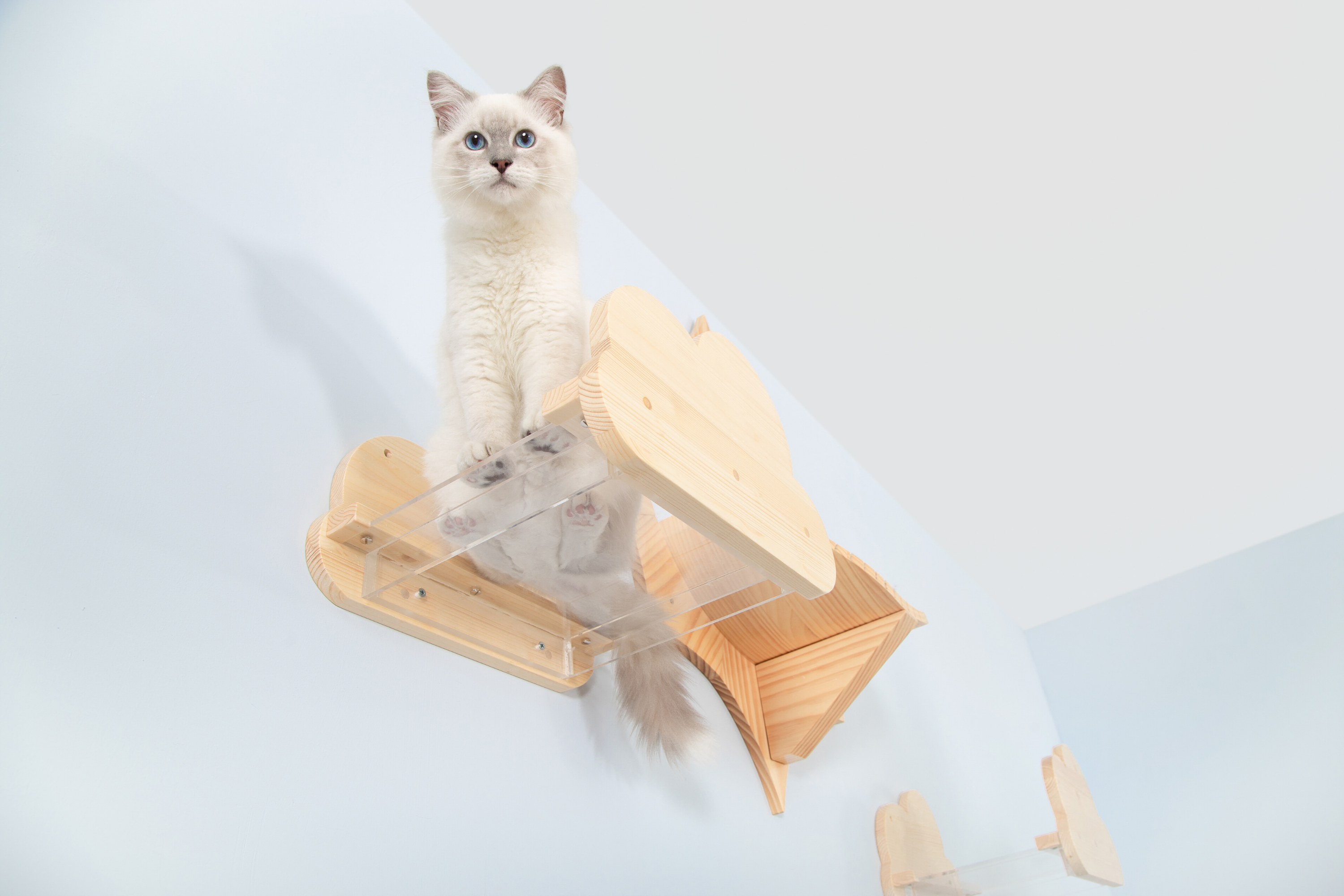 a white ragdoll cat stands on a transparent shelf