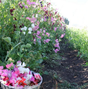 Finnriver Sweet Peas | Hudson Valley Seed Co. - InRugCo Studio & Gift Shop