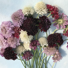 Load image into Gallery viewer, Pincushion Flower Mix | Hudson Valley Seed Co. - InRugCo Studio & Gift Shop