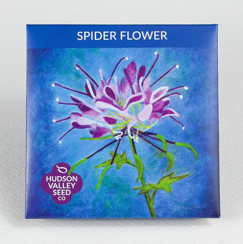spider flower Hudson valley seed co