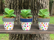 Mini Succulents shows the clay pot succulents with gray and navy rims and a colorful polka dot pots.  This is a set of 3.