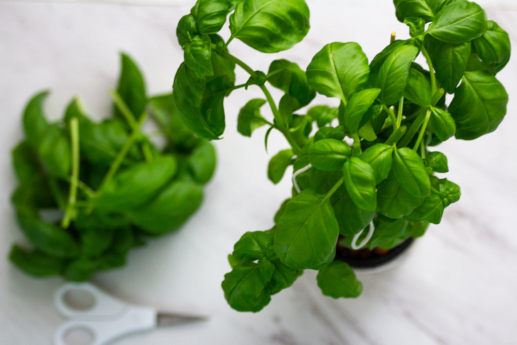 How To Prune Your Basil The Right Way | VIDEO