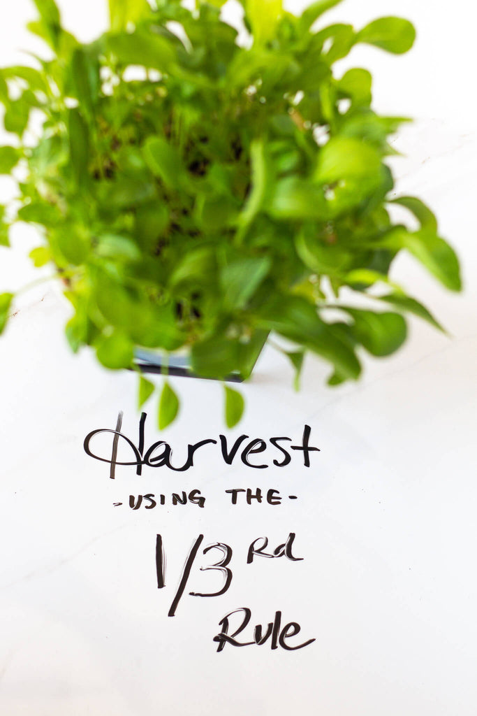 Harvest greens one third rule arugula container plant
