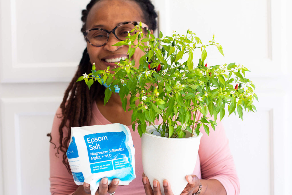 Gardener holding container pepper plant with epsom salt