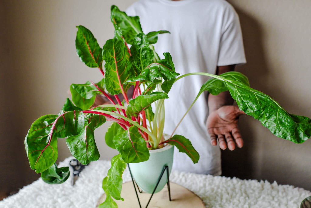 indoor soilless container grown bright lights swiss chard
