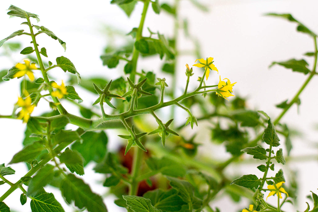 Container tomato flowers coco and seed
