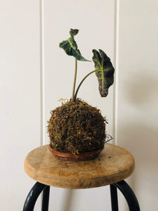 Cecelia Azhderian Workshop Houseplant Kokedama