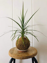 Load image into Gallery viewer, Cecelia Azhderian Workshop Houseplant Kokedama