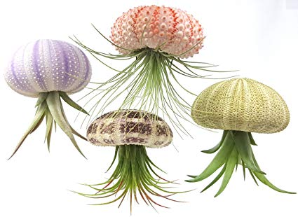 Sea Urchin Air Plant Jellyfish