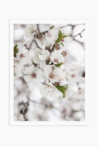 Art Print Photography - Prunus dulcet No.3