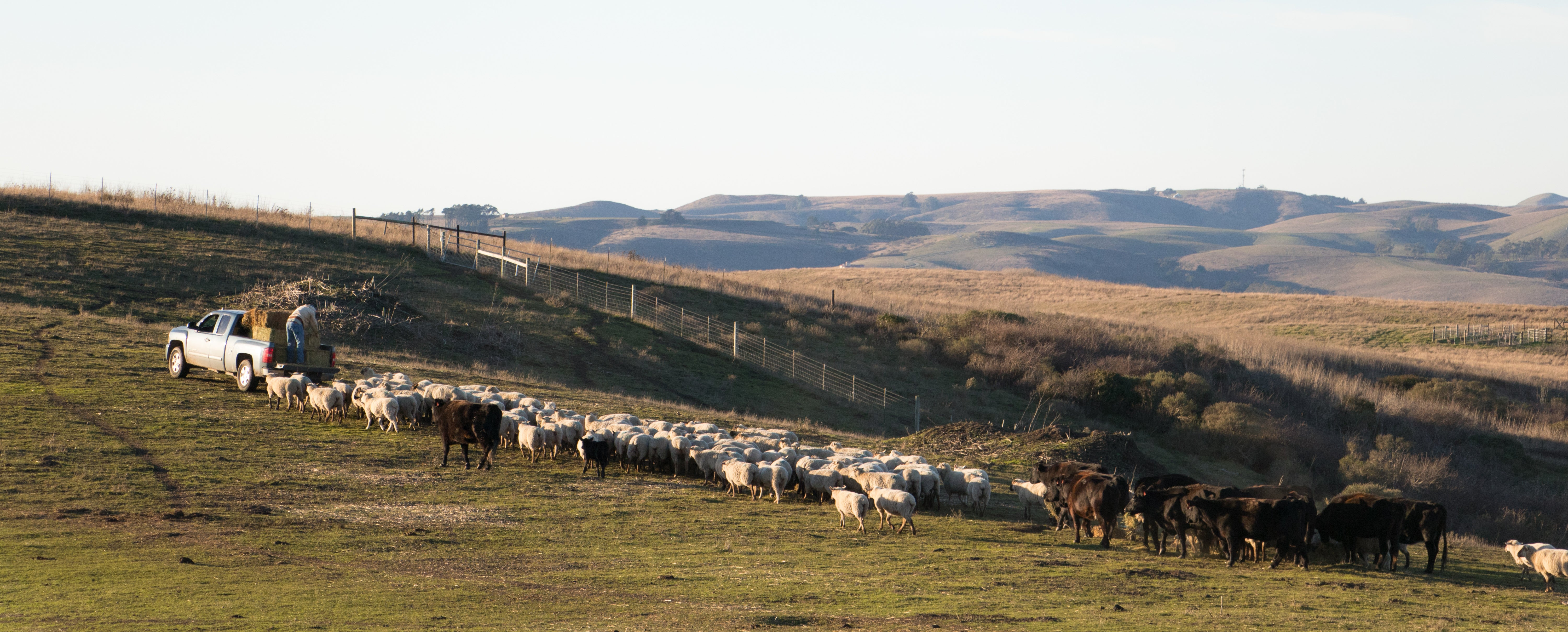 Herd of cattle and sheep behind truck, being fed bales of hay by farmer inside