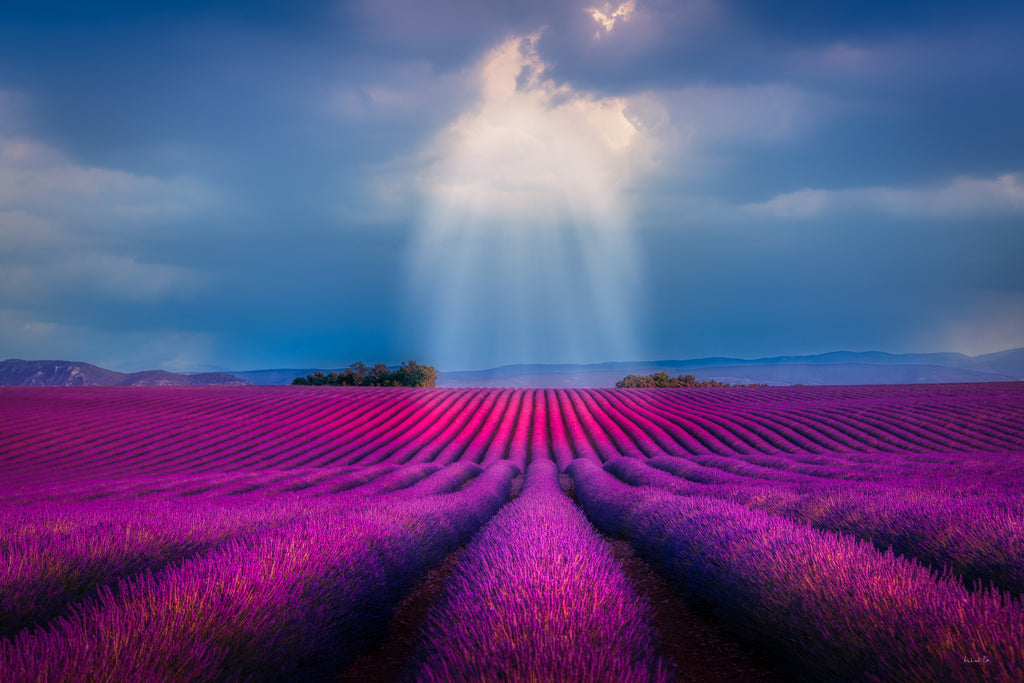 Michael Stahlschmidt • SUN RAYS OVER LAVENDER FIELD • 2019