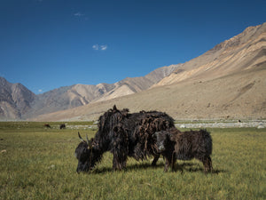 Eberhard Hahne • YAKS IN SHYOK VALLEY