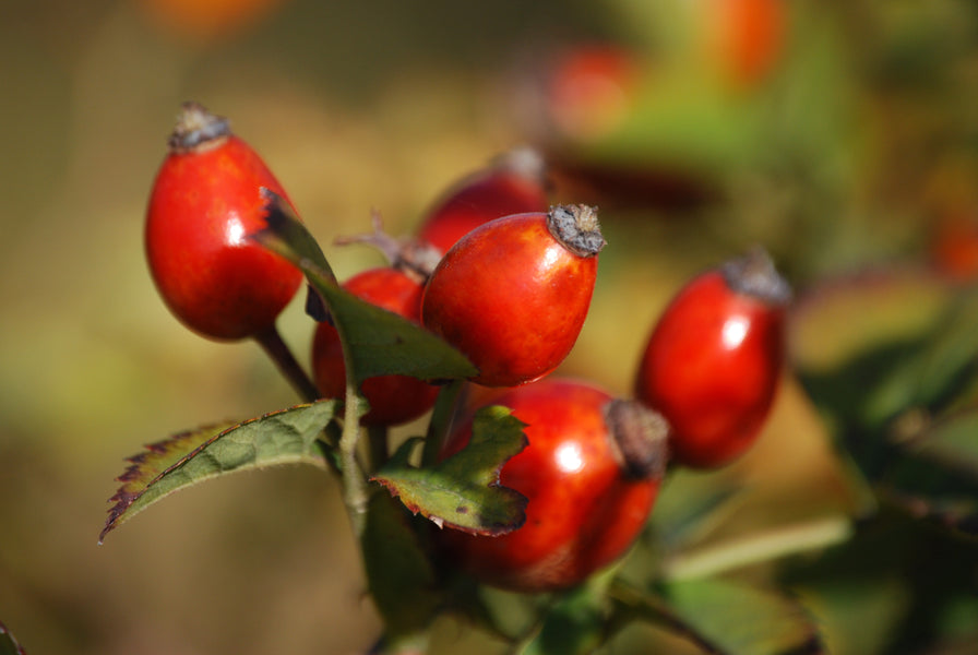 Regenerate Your Skin Cells With Rosehip Seed Oil