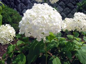 Artificial Extra Large Cream Hydrangea faux silk artificial flower home decor and design