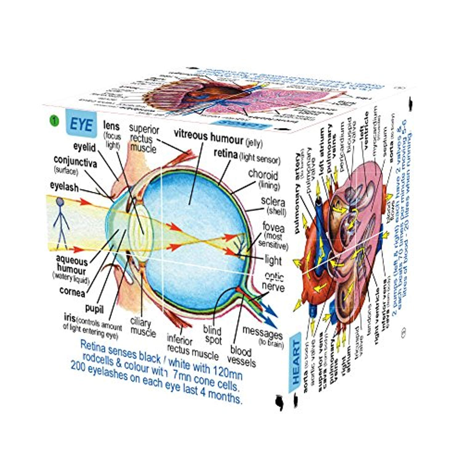 Human Body Cube Book (Whole Anatomy in just one hand)