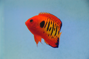 Tiger Flame Angelfish