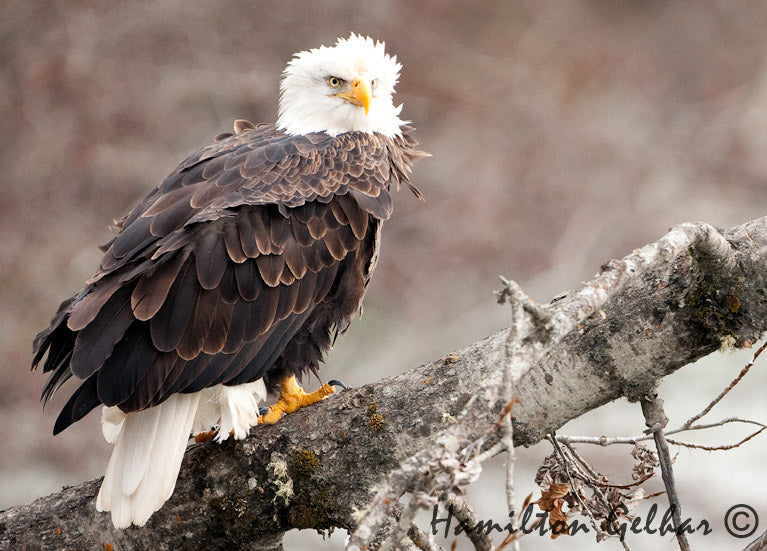 Eagle Ruffled Feathers