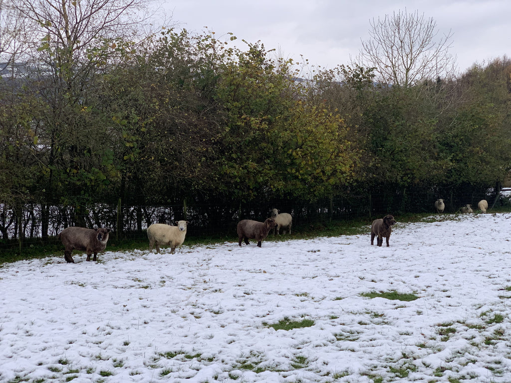 Ryeland sheep in the snow