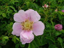 Load image into Gallery viewer, wild rose haida gwaii Islandwise