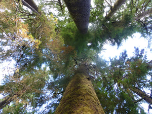 Spruce Trees looking up Haida Gwaii Islandwise