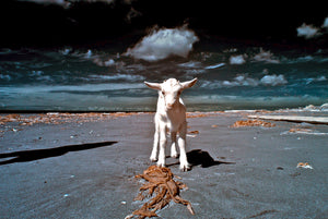 Goat on beach Guy Kimola Haida Gwaii