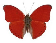 Load image into Gallery viewer, Blood Red Glider Butterfly Tiny Necklace - The Steampunk Butterfly