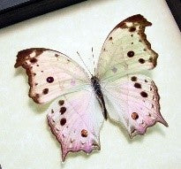 Load image into Gallery viewer, Mother of Pearl Butterfly Dainty Necklace - The Steampunk Butterfly