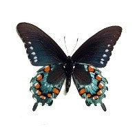 Load image into Gallery viewer, Pipevine Swallowtail Butterfly Victorian Style Necklace - The Steampunk Butterfly