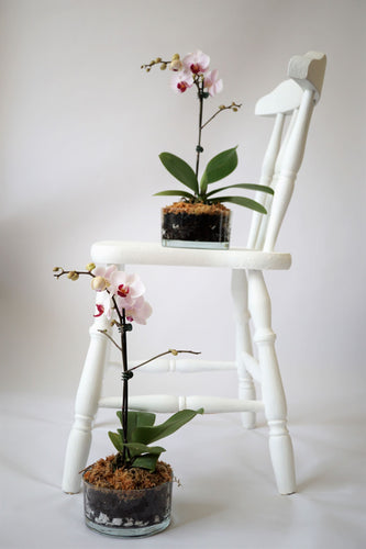 Phalaenopsis Orchid - Medium