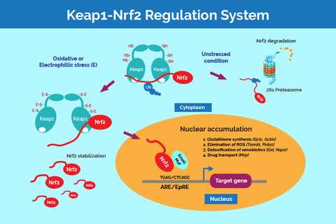Keap1 NRF2 regulation system