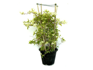 Bougainvillea White Flowers  80-100cm Height