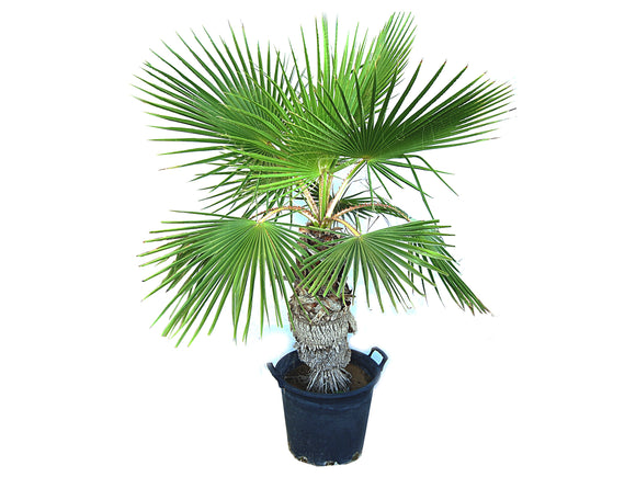 Washingtonia Robusta Palm Outdoor
