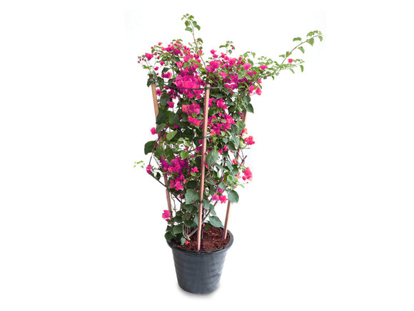 Red Bougainvillea Outdoor