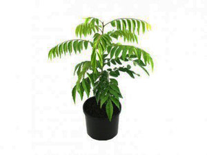 Curry Leaf Plant (Curry Patta) 50cm Height