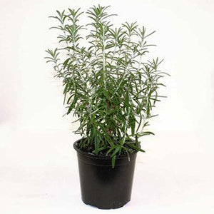 Rosemary Herb Outdoor