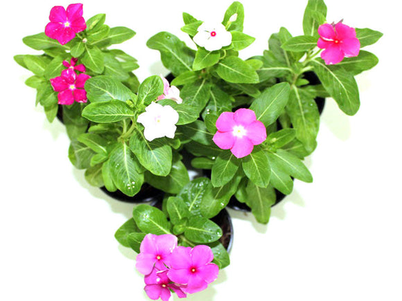 Vincas or Seasonal Periwinkle Per Dozen