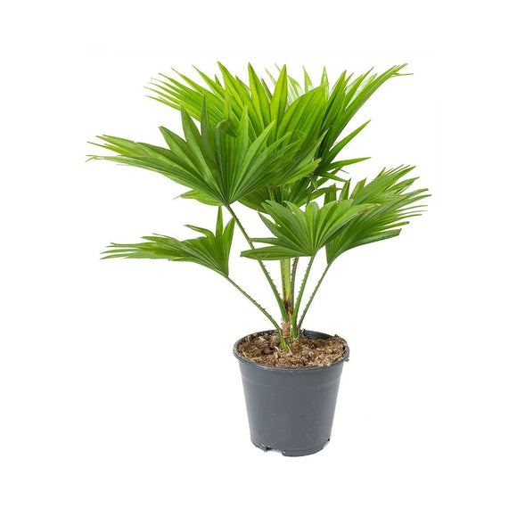 Livistona Rotundinfolia or Footstool Palm Outdoor