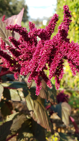 Beauty of Nature: Amaranth Ancient Grain