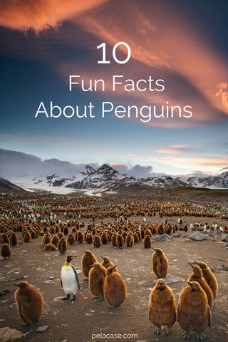 10 fun facts about penguins from pelacase.com