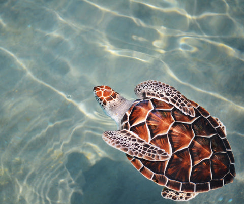 Celebrate World Sea Turtle Day from pelacase.com