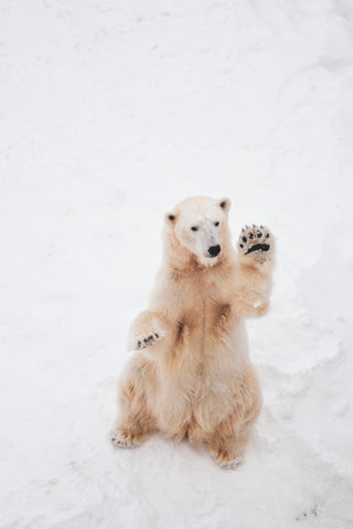 How to save the polar bears from www.pelacase.com