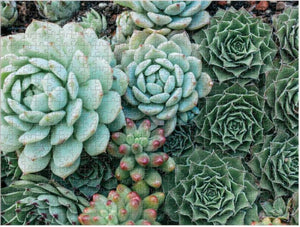 Succulent Garden 2-Sided Puzzle (500 pieces)