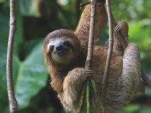 Load image into Gallery viewer, Three Toed Sloth Puzzle (500 pieces)