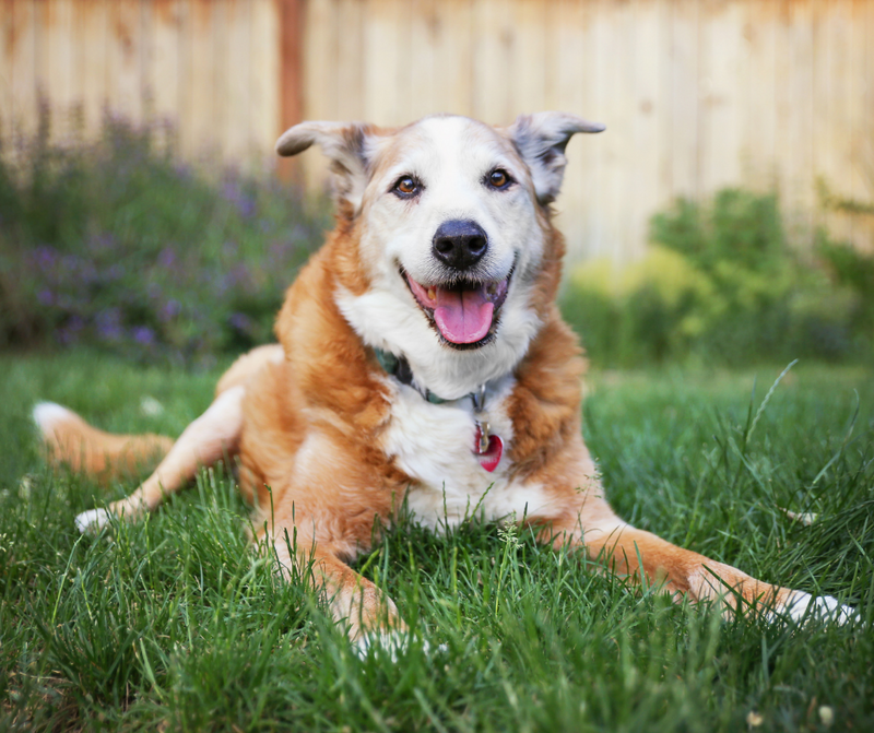 Have A Senior Dog? Here's How Dog Supplements Can Help!