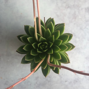 SUCCULENT - Echeveria Green - AVAILABLE SPRING/SUMMER ONLY
