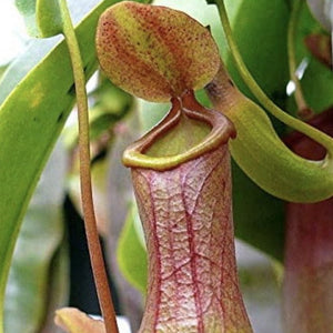 MONKEY JAR - Nepenthes Carnivorous Pitcher