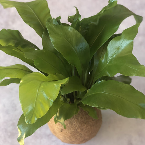 BIRDS NEST FERN - Asplenium