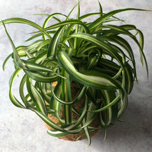Load image into Gallery viewer, SPIDER PLANT - Chlorophytum - Curly